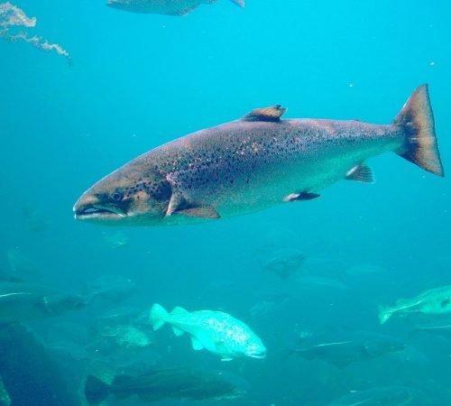 Atlantic Salmon, Salmo salar, Taken thru glas, in Atlanterhavsparken, Ålesund, Norway - Hans-Petter Fjeld
